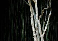 一棵稀薄的树在一个竹森林里 图库摄影