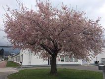 一棵简单的佐仓树 免版税库存图片