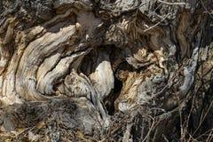 一棵粗糙的树的凹陷 库存图片