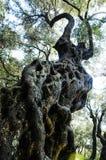 一棵粗糙的橄榄树 免版税库存照片