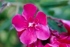 一棵红色夹竹桃夹竹桃的花,与绿色叶子在背景中 西班牙 图库摄影