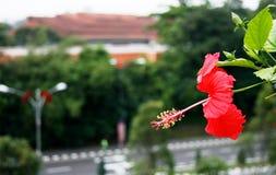 一棵红色木槿的侧视图 库存照片