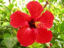 一棵红色木槿的花 库存图片