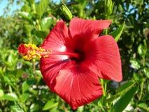 一棵红色木槿的花 免版税库存照片