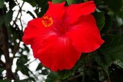 一棵红色木槿的花 库存照片
