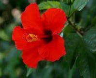 一棵红色木槿 库存图片