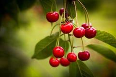 一棵红色樱桃的分支在绿色背景的 库存照片