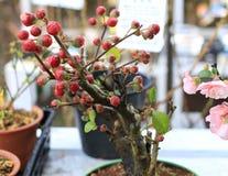 一棵红色球植物 免版税图库摄影