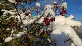 一棵红色荚莲属的植物在雪下 免版税库存照片