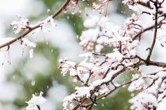 一棵红色莓果树的积雪的分支在冬天 免版税库存照片