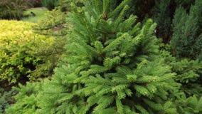 一棵绿色云杉的垂直的平底锅在公园 股票视频