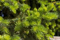 一棵绿色云杉的特写镜头 免版税库存图片