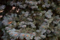 一棵绿色树的新的蓝色长满的分支在冬天在新年前 免版税库存照片