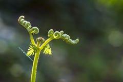 一棵绿色蕨的详细资料 免版税库存图片