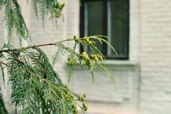 一棵绿色针叶树的分支 图库摄影