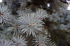 一棵罕见的白色圣诞节树在公园 免版税图库摄影