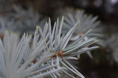 一棵罕见的白色圣诞节树在公园 免版税库存照片