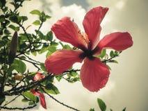 一棵美丽的充分地被打开的红色木槿在坦桑尼亚开花 库存图片