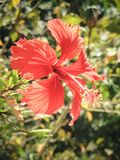 一棵美丽的充分地被打开的红色木槿在坦桑尼亚开花 库存照片