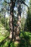 一棵美丽的双树 免版税图库摄影