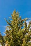 一棵美丽的圣诞树在天际的森林里在日出期间 库存照片