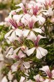 一棵美丽的开花的天竺葵植物的特写镜头夏令时 库存图片