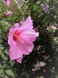 一棵美丽的桃红色木槿的宏观照片开花 库存照片