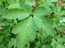 一棵美丽的植物的叶子有领域雨水滴的  免版税图库摄影