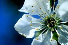 一棵美丽的樱桃的宏观照片 库存图片