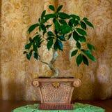 一棵美丽的盆景树的照片在棕色背景的 图库摄影