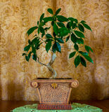 一棵美丽的盆景树的照片在棕色背景的 免版税库存图片