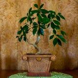 一棵美丽的盆景树的照片在棕色背景的 库存图片