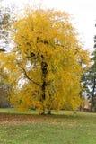 一棵美丽的金黄树的图片在秋天 免版税库存图片