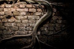 一棵美丽的Bodhi树在墙壁上根源,显示寺庙墙壁的光和阴影  图库摄影