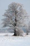 一棵美丽,偏僻,结霜的老柳树在winte的一个草甸 图库摄影