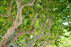 一棵美国梧桐的树干在巴塞罗那Ciutadella公园。卡塔龙尼亚,西班牙。 图库摄影