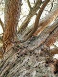 一棵老大树的树干,底视图 免版税库存照片