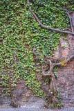 一棵老常春藤树盖了红砖墙壁 免版税库存照片