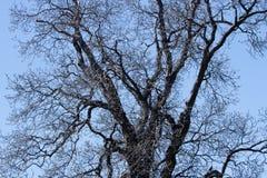 一棵老木兰树的光秃的分支现出轮廓反对蓝色无云的天空 免版税图库摄影