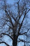 一棵老木兰树的光秃的分支现出轮廓反对蓝色无云的天空 图库摄影