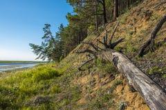 一棵老杉木的树干 免版税库存图片