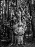 一棵老树在加利西亚 免版税库存图片
