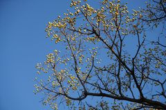 一棵老树用许多狂放的果子在秋天 免版税库存照片