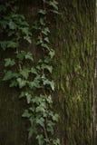 一棵老树的吠声与青苔和常春藤的 库存照片
