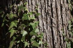 一棵老树的吠声与青苔和常春藤的 免版税库存图片