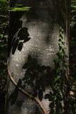 一棵老树的吠声与青苔和常春藤的 库存图片