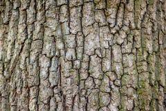 一棵老树的吠声的概略的纹理,design_的预先形成 免版税库存照片