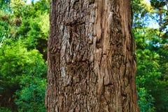 一棵老树的吠声的特写镜头 图库摄影