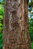 一棵老树的吠声的特写镜头 免版税库存照片