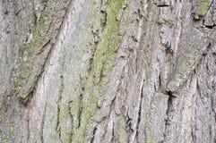 一棵老树的吠声的纹理 图库摄影